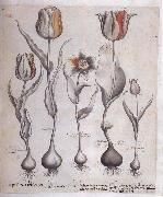 Basilius Besler Drawing for the Hortus Eystettensis oil painting reproduction