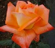 unknow artist Realistic Orange Rose oil on canvas