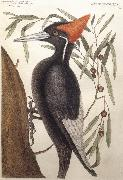 Catesby Mark Largest White Billed Woodpecker oil on canvas